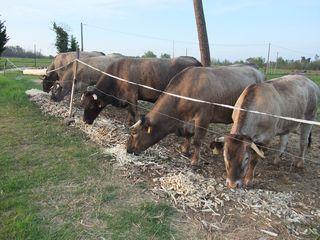 Vache et asperges