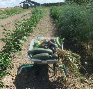 Récolte potager10